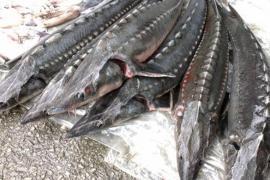 """Xử lý nghiêm việc tiếp tay cho cá tầm """"lậu"""" vào Việt Nam"""