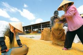 Giá giảm sâu, doanh nghiệp được đề nghị thu mua lúa gạo cho nông dân