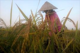 Giá gạo xuất khẩu tại châu Á lên cao nhất 7 năm