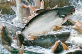 Doanh nghiệp cá tra tiếp tục lãi lớn trong quý I