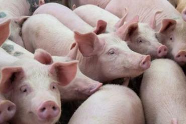Lợn sống nhập từ Thái Lan về chợ đầu mối, giá thịt lợn hơi giảm mạnh