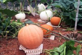 """Đà Lạt: Thu hút khách mùa Hallowen với quả bí """"khổng lồ"""""""