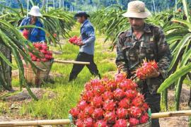 Ùn ứ trái cây xuất khẩu sang Trung Quốc, Bộ Công Thương khuyến cáo