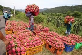 Giá thanh long trái vụ giảm còn 6.000 đồng/kg