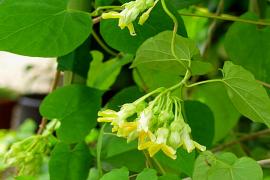 Tác dụng tuyệt vời của hoa thiên lý đối với sức khỏe